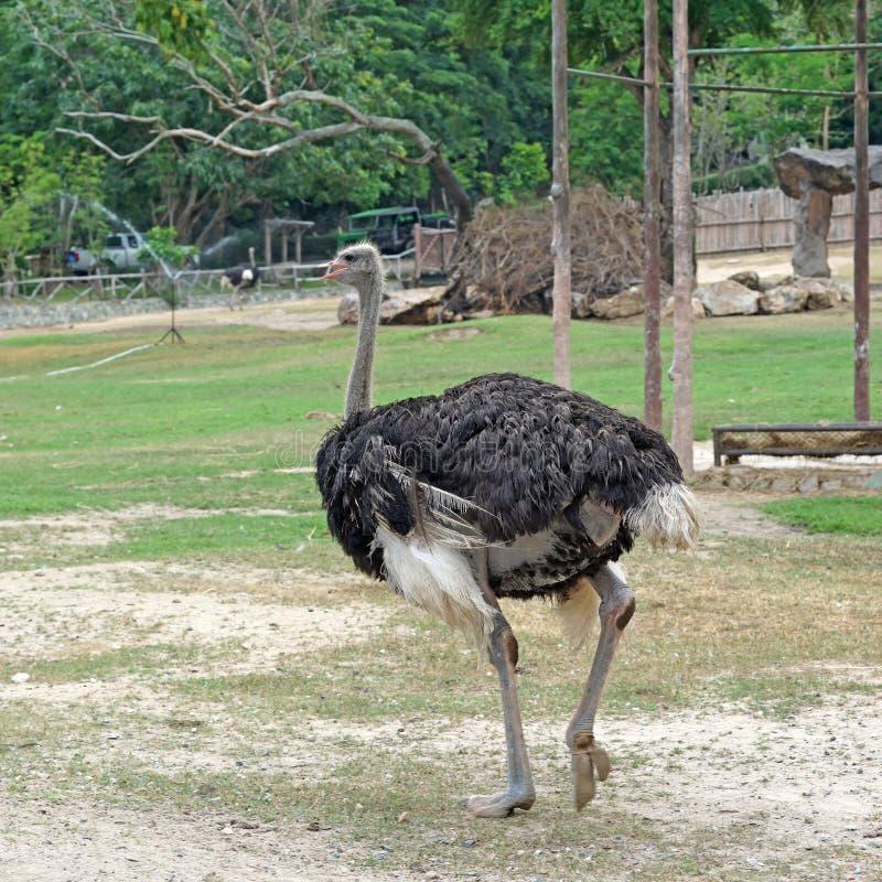 Strauß im Zoo lizenzfreies stockfoto