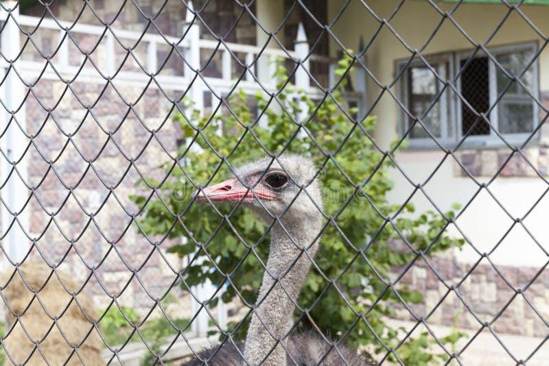Strauß im Zoo lizenzfreies stockbild