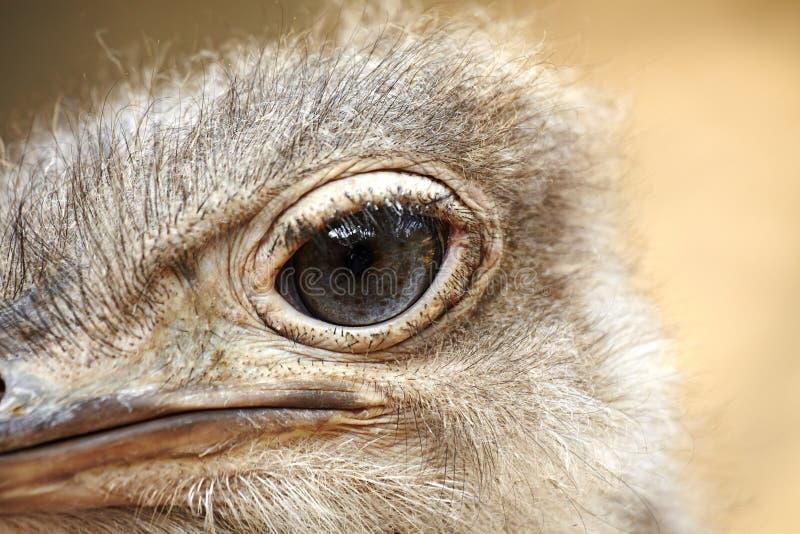 Strauß ` s Auge, Nahaufnahme lizenzfreies stockfoto