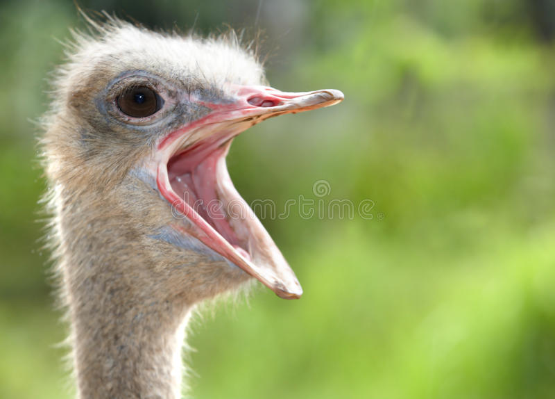 Straußkopf mit geöffnetem Mund. lizenzfreies stockbild