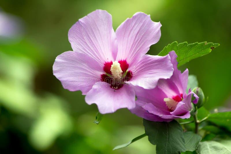 Strauch-Malven-Hibiscus syriacus stockbild