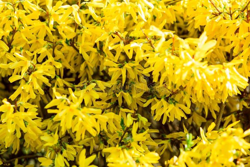 Strauch mit hellen gelben Blumen im Frühjahr stockfotografie