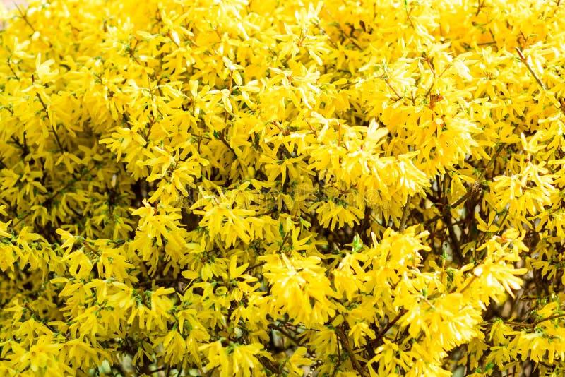 Strauch mit hellen gelben Blumen im Fr?hjahr lizenzfreie stockfotos