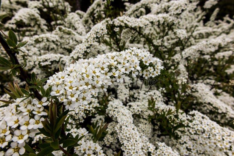 Strauch mit kleinen weißen Blumen, spirea van Houtte'a lizenzfreie stockbilder