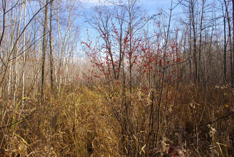 Strauch mit roten Beeren unter einem Feld von hohen Gräsern und von Bäumen im Herbst in Minnesota lizenzfreies stockbild