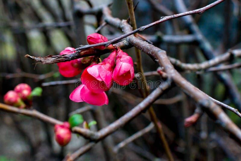 Strauch mit roten Blumen lizenzfreie stockfotos