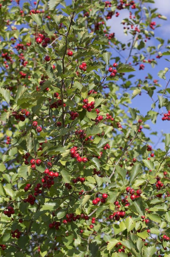 Strauch mit vielen roten Weißdornbeeren lizenzfreie stockfotografie
