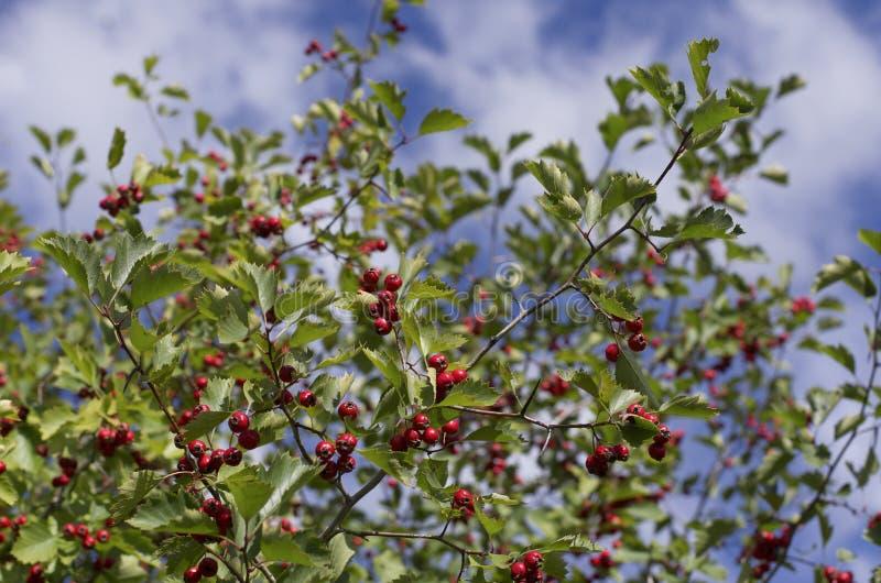 Strauch mit vielen roten Weißdornbeeren und grünen Blättern stockbild