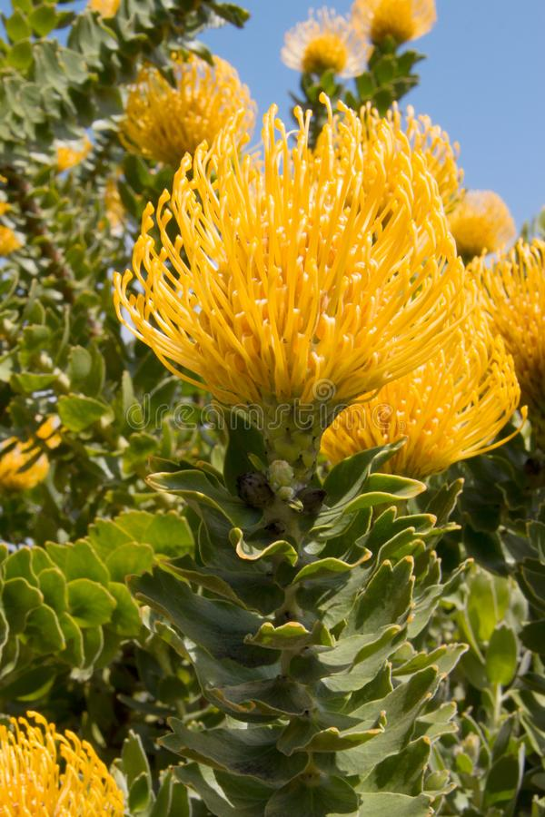 Strauch von hellen gelben Proteanadelkissenblumen und -blättern stockbilder