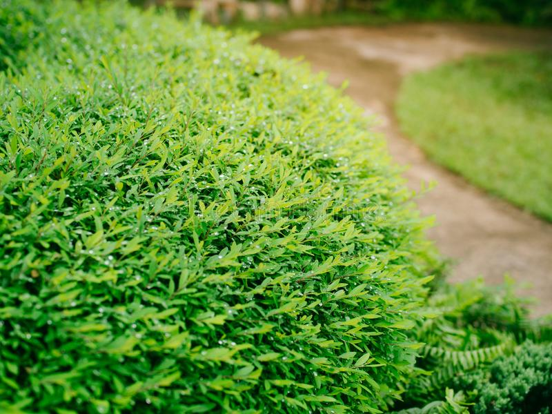 Strauchgrün im Garten stockbilder