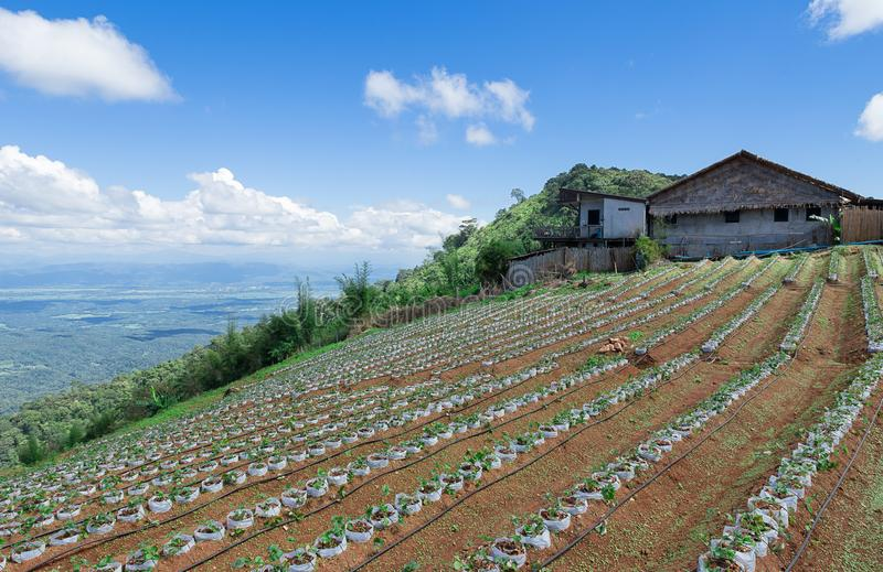 Straw berry farm on the mountain in Thailand. Plantation of strawberries in Pai - Thailand stock image