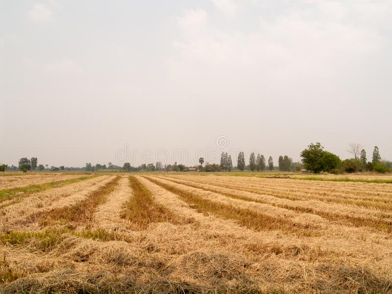 The straw dry in the field with sky stock photo