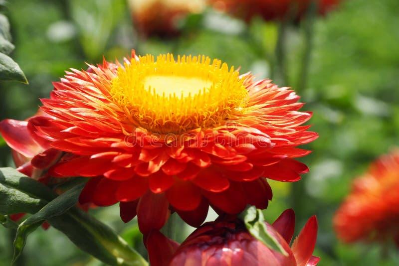 Straw Flower imagens de stock royalty free