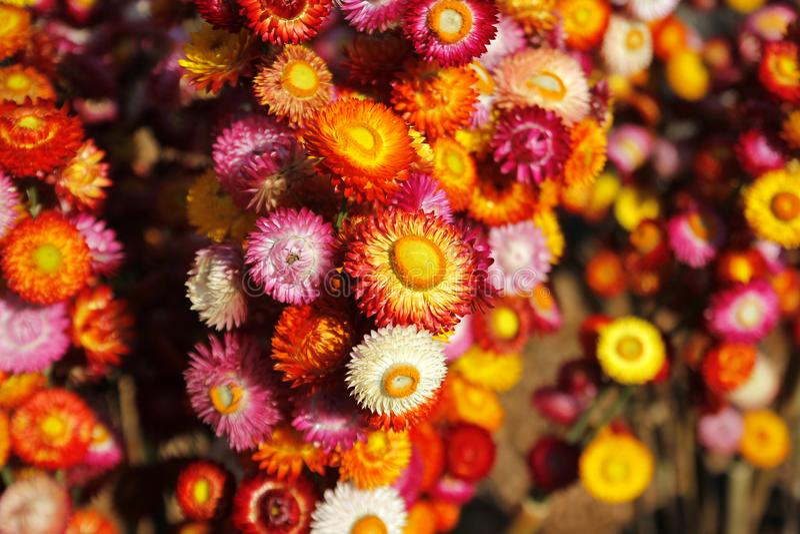 Straw flower or everlasting helichrysum bracteatum stock photos