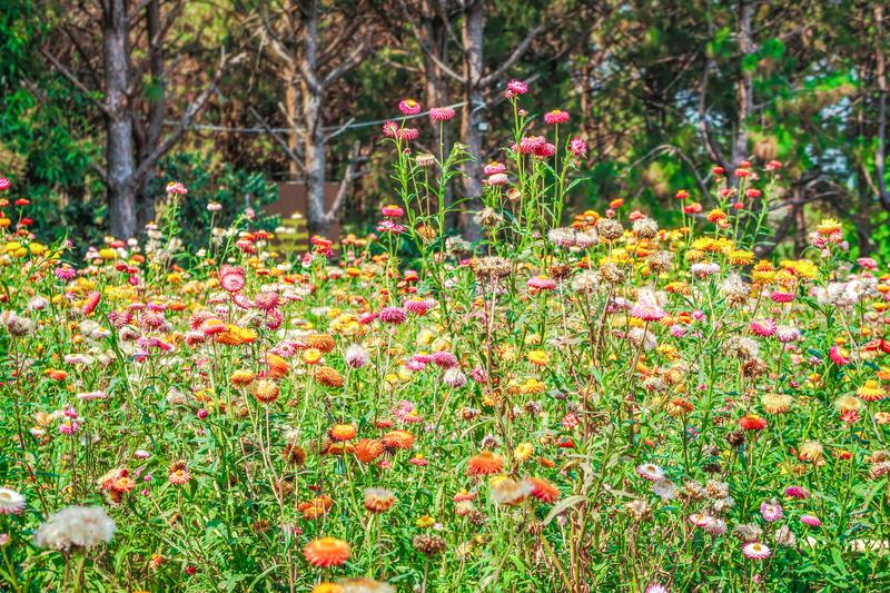 Colourful straw flower field or everlasting flower stock image