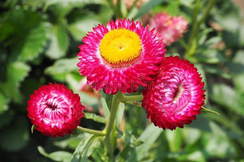 Straw flower stock image