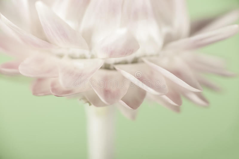 Straw Flower. Portrait. Helichrysum with a pastel green background stock photo