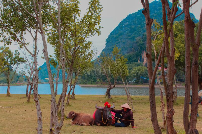 Straw hat man petting his Cattle cows while laying down. Hoa Lư District, Ninh Bình Province, Vietnam - 01/02/2019: A man laying on a field with a straw hat royalty free stock photos