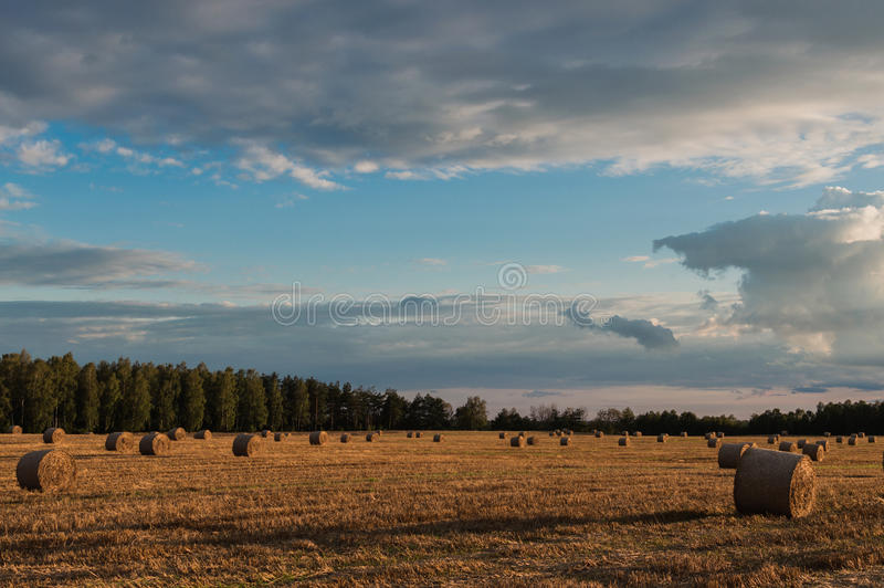 Straw or hay stacked in a field after harvesting.  royalty free stock images