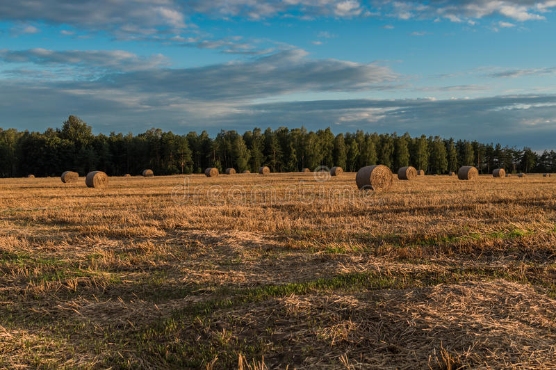 Straw or hay stacked in a field after harvesting.  royalty free stock photo