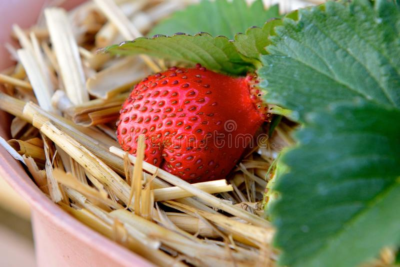Straw in the Strawberry stock images