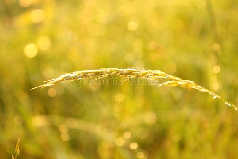 A straw on a swedish summermorning. stock photography