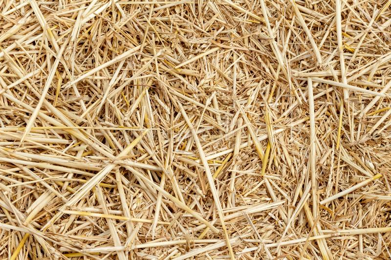 Straw thatch of grains, wheat, corn, cereals on the field after harvesting closeup agriculture farming rural economy agronomy royalty free stock image