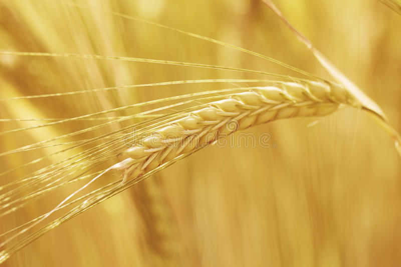 Download Straw of wheat stock photo. Image of nature, tranquility - 40912560
