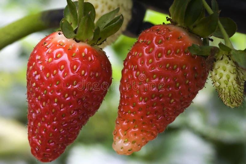 Strawberries Free Stock Image