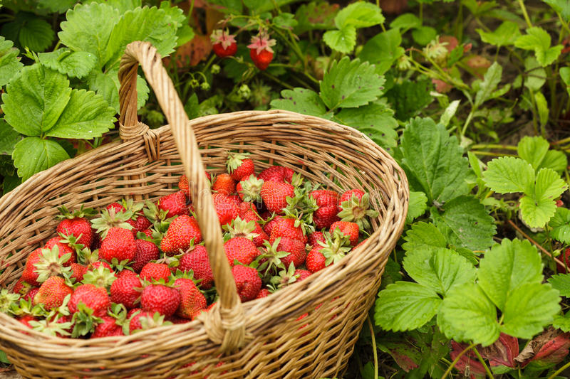 Download Strawberries in a basket stock image. Image of meal, freshness - 25987821