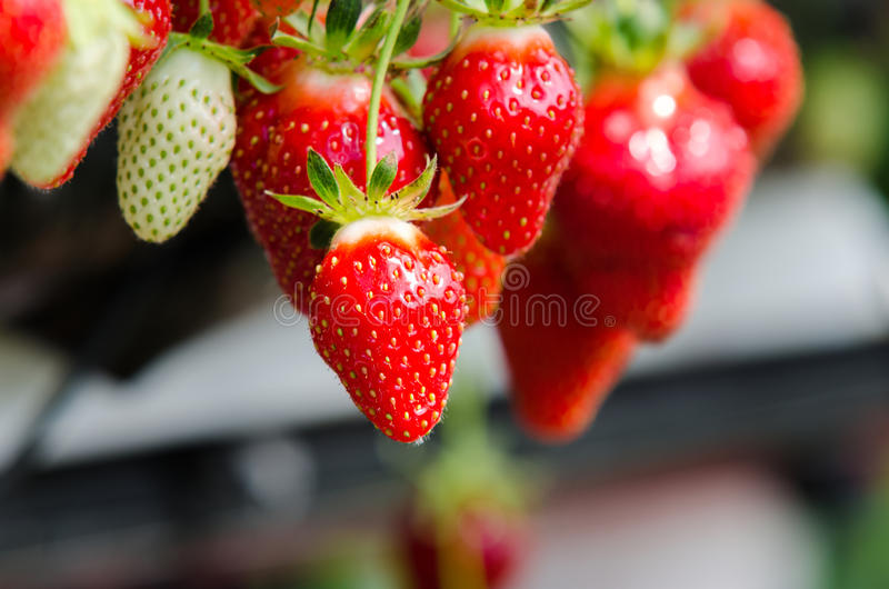 Strawberries being grown stock photos