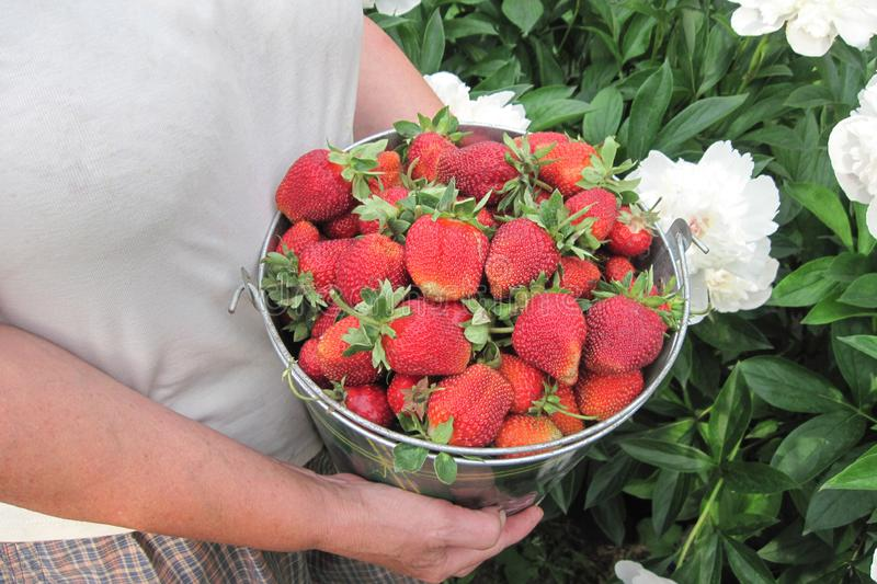 Strawberries in bucket on white flowers background. Mature woman hands hold summer harvest of home garden stock photos
