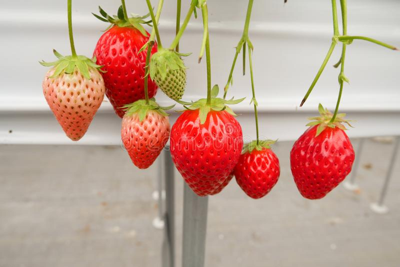 Strawberries on a fence in a farm royalty free stock image