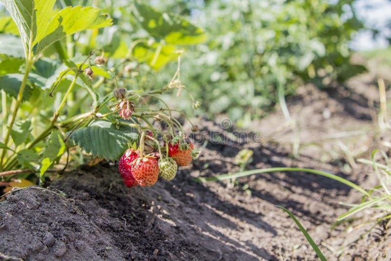 Strawberries in the garden. Strawberries in the beautiful sunny garden stock photos
