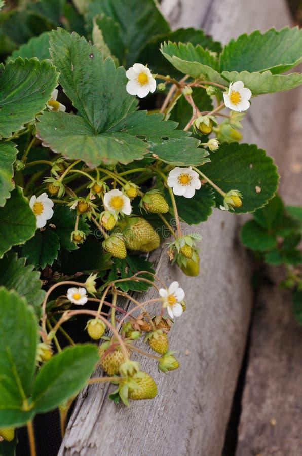 Strawberries in the garden stock image