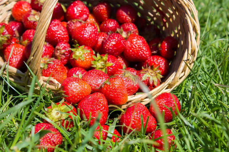 Strawberries on the grass. Inverted basket of strawberries on the grass lies royalty free stock image