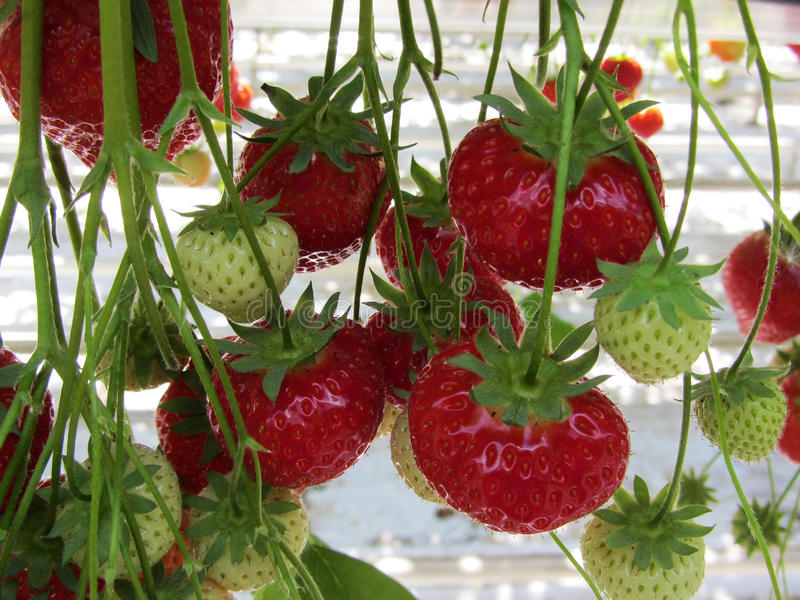 Strawberries in a greenhouse close-up. Strawberries in a greenhouse close-up royalty free stock photography