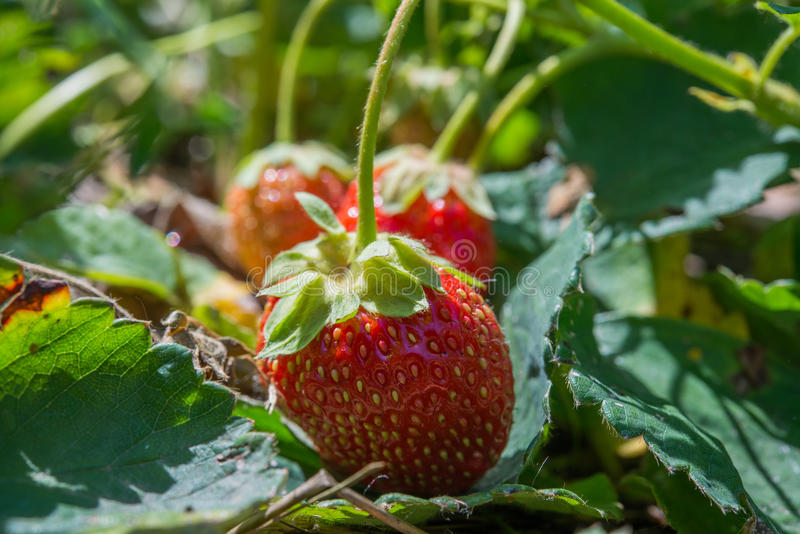 Download Strawberries stock image. Image of ingredient, fruit - 41380455