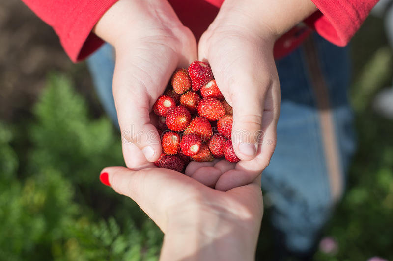 Strawberries in the palms of the child stock photography