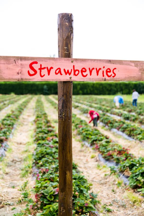 Strawberries farm in England with hard working manual workers stock image