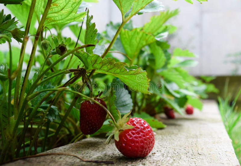 Strawberries in spring royalty free stock photography