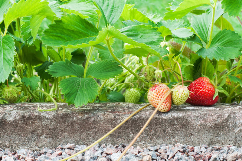 Strawberries growing in the garden royalty free stock images