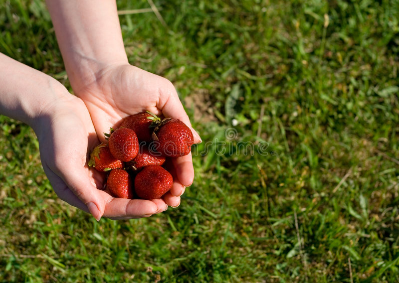 Download Strawberries in woman hand stock photo. Image of spring - 2481852