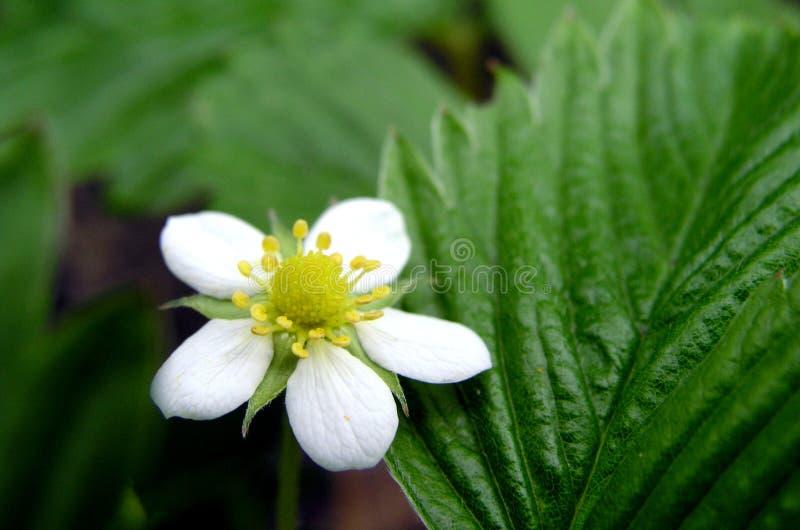 Download Strawberry 1 stock image. Image of flower, pestils, blossom - 164417
