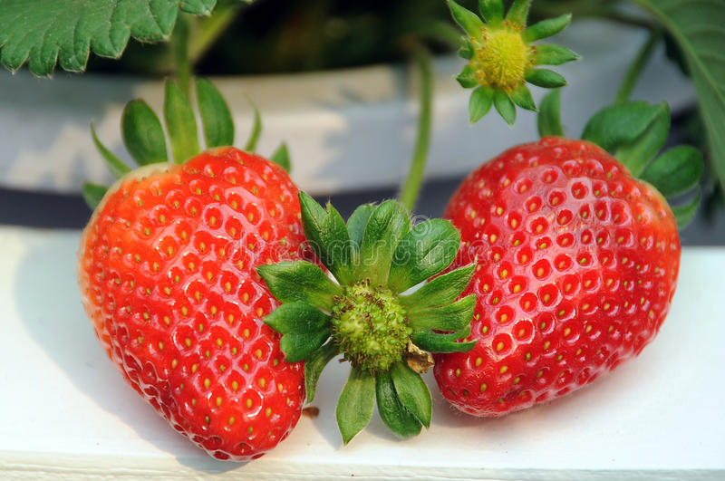 Download Strawberry stock image. Image of produce, strawberry - 23621407