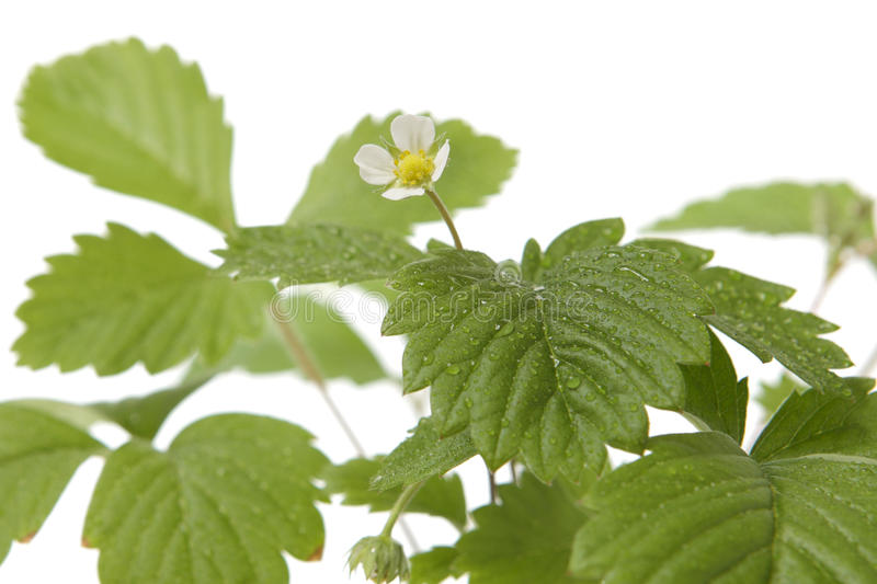 Download Strawberry Baby Plant Royalty Free Stock Photo - Image: 24237915
