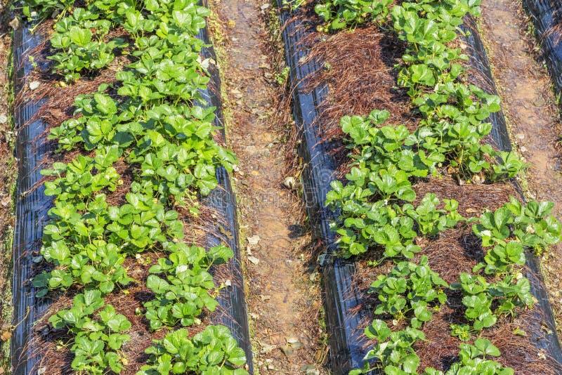 Strawberry beds, Da Lat city, Lam province, Vietnam. Strawberry beds in the sun, Da Lat city, Lam province, Vietnam. Lam province is the largest place to grow stock photography