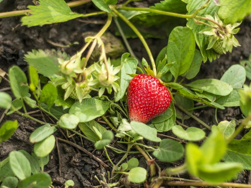 Strawberry berry in the farm garden.  royalty free stock images