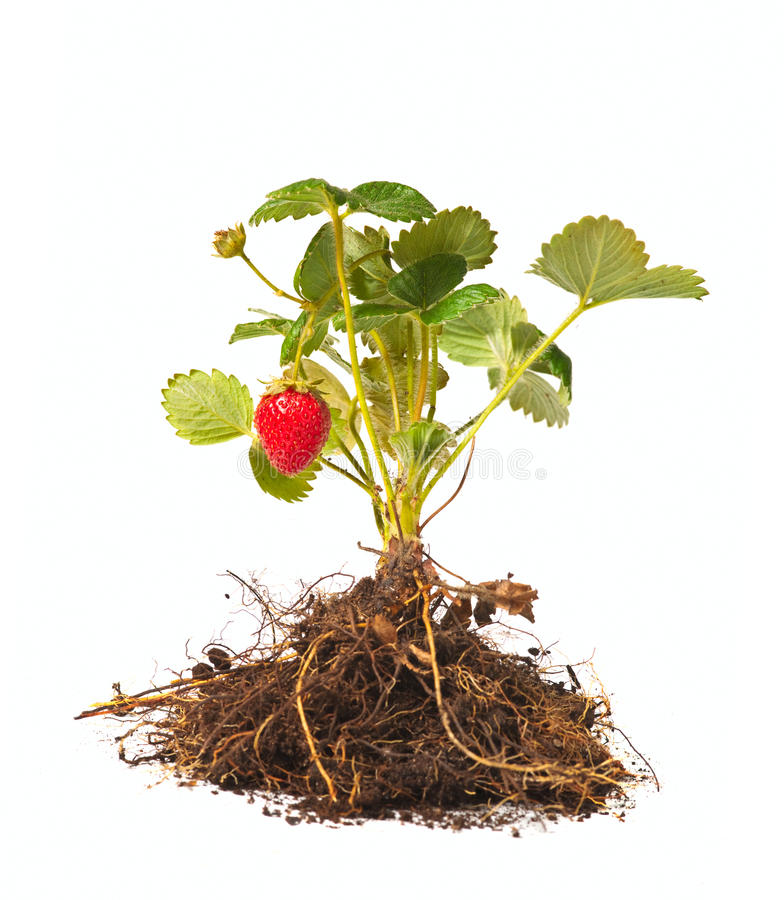 Download Strawberry bush stock image. Image of mature, sweet, small - 26304981