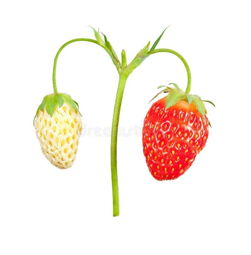 Strawberry Bush Stock Photos